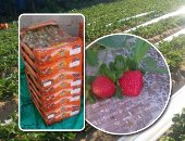 Agriculture: Fresh strawberry exports increased to 18,794 tons