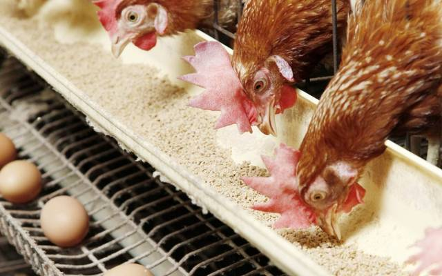 Egypt announces self-sufficiency in poultry and begins export procedures