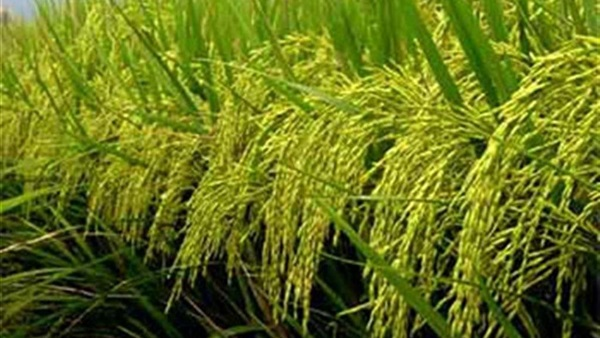 Cereal Chamber: The supply of domestic rice to the Ministry of Supply begins March 15