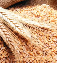 Egypt amended tenders wheat specifications in line with the new policy Alarjot