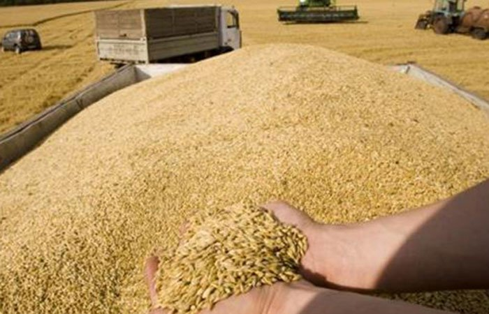 Agriculture develop new mechanisms to receive wheat from farmers