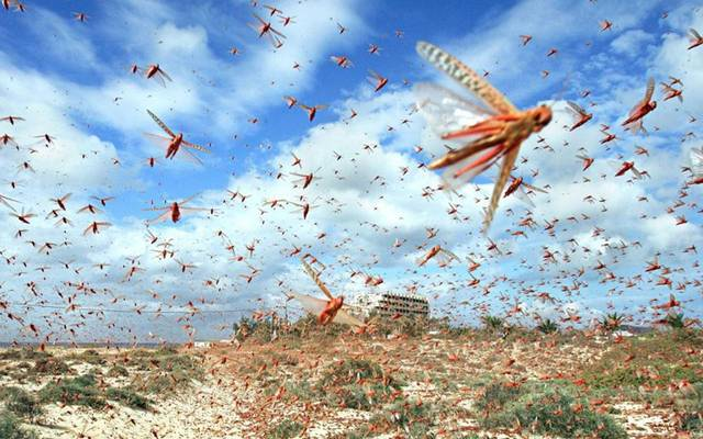 Egyptian Agriculture declares its readiness to face locust swarms