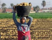 Vegetables Division: Potato prices fall to 3 pounds due to the emergence of the harvests of the winter crop